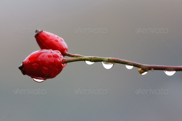 rosehip - Stock Photo - Images