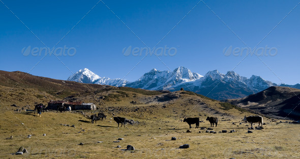 Yaks graze on alpine pastures - Stock Photo - Images