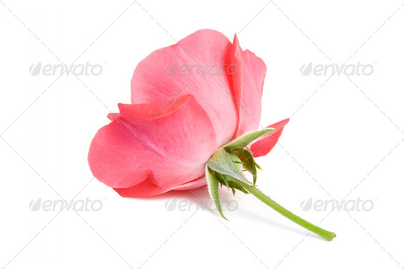 Red rose. - Stock Photo - Images