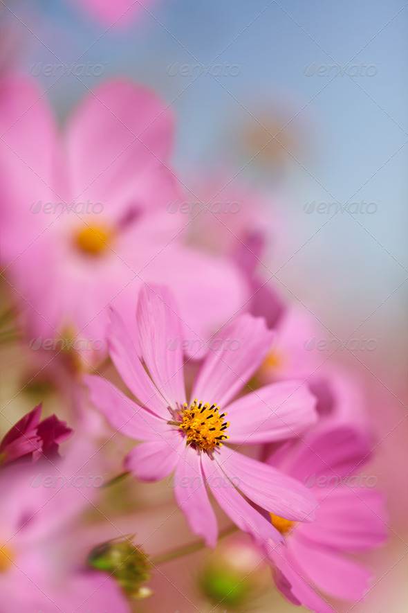 Flowers cosmos - Stock Photo - Images