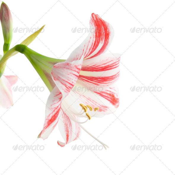 Red amaryllis flower - Stock Photo - Images