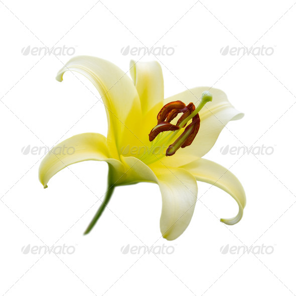 Yellow lily - Stock Photo - Images