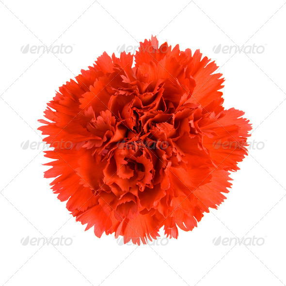 Red Carnation. - Stock Photo - Images