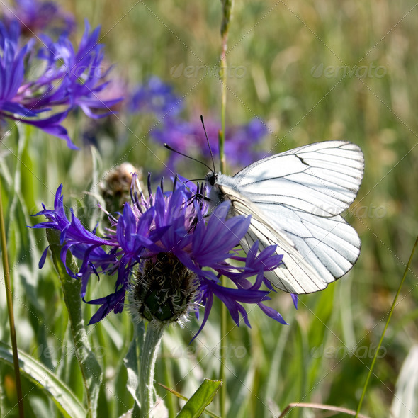 Butterfly on blue flower. - Stock Photo - Images