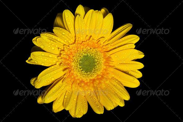 yellow gerbera daisy - Stock Photo - Images