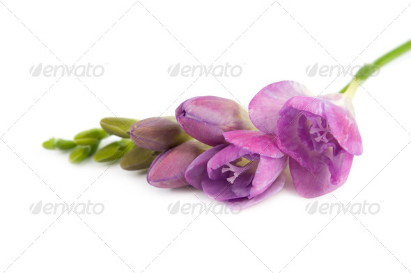 The branch of flowering freesia. - Stock Photo - Images