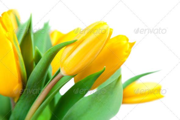 Yellow tulips - Stock Photo - Images