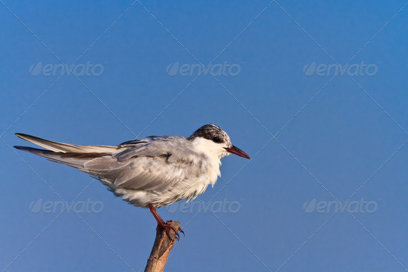 common terns  - Stock Photo - Images