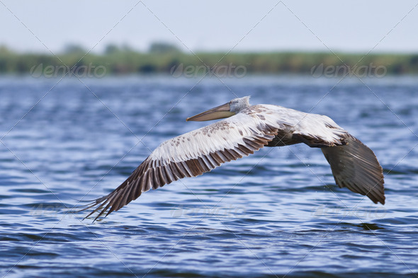 Dalmatian Pelican (Pelecanus crispus)  - Stock Photo - Images