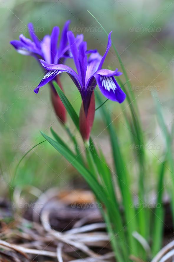 mountain iris - Stock Photo - Images