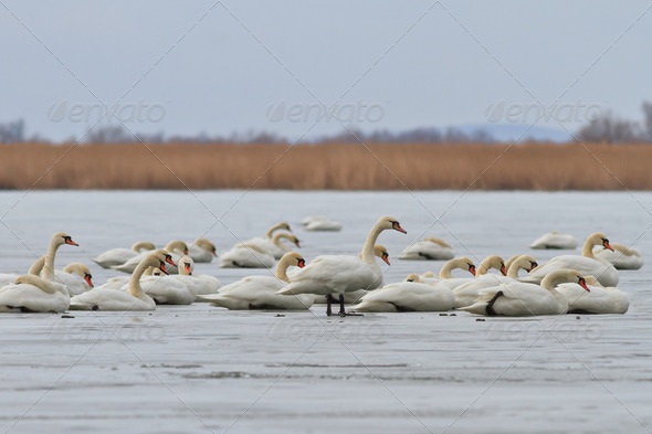 white swans - Stock Photo - Images