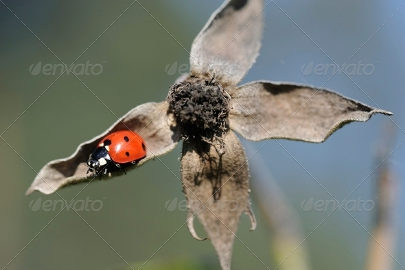 Ladybird on a dried rose flower - Stock Photo - Images