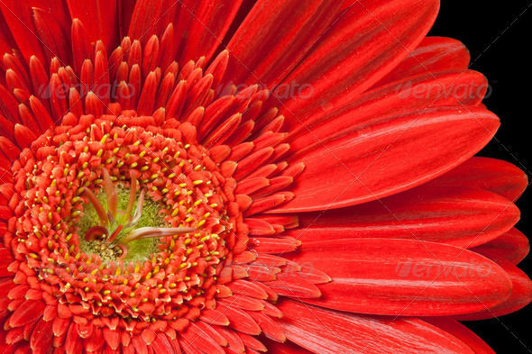 red gerbera daisy - Stock Photo - Images