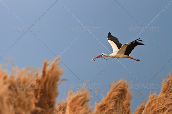 stork - Stock Photo - Images