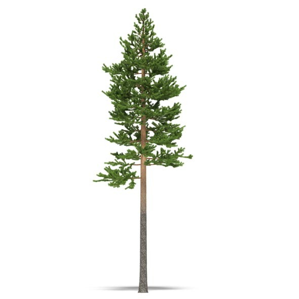 Pine - 3DOcean Item for Sale
