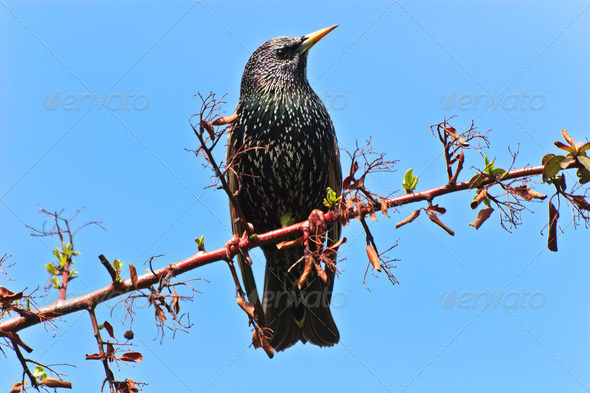 starling bird (sturnus vulgaris) - Stock Photo - Images