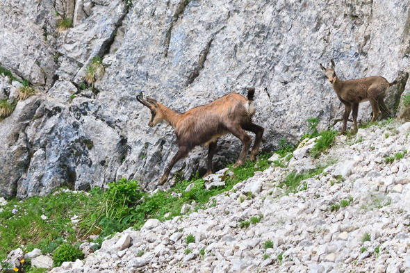 chamois (Rupicapra Carpatica) - Stock Photo - Images