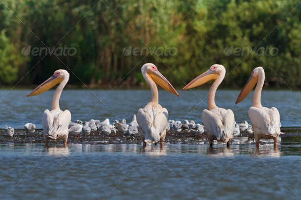 white pelicans - Stock Photo - Images