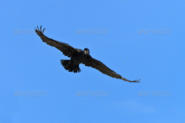 cormorant (phalacrocorax carbo ) - Stock Photo - Images