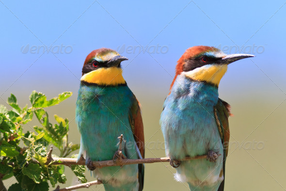 european bee eater (Merops Apiaster)  - Stock Photo - Images