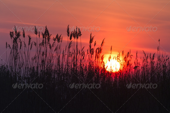 sunrise among reeds - Stock Photo - Images