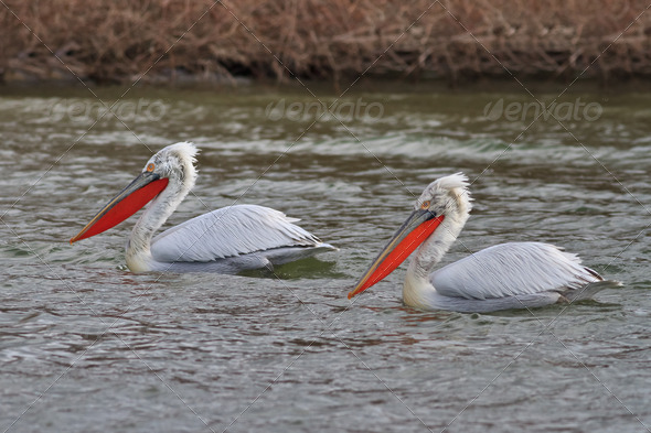 Dalmatian Pelicans (Pelecanus crispus)  - Stock Photo - Images