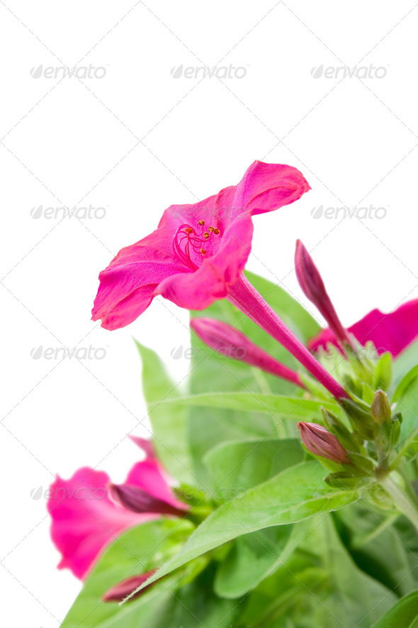 Flower Mirabilis - Stock Photo - Images