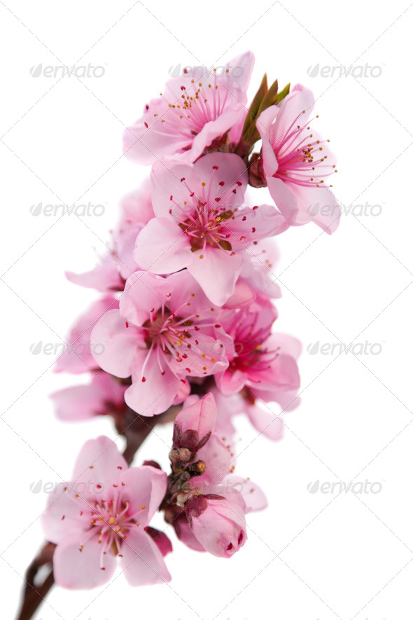 Flowering branch of peach - Stock Photo - Images