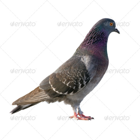 Pigeon. - Stock Photo - Images