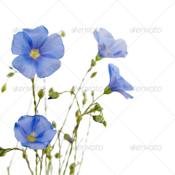 Flowers of flax - Stock Photo - Images