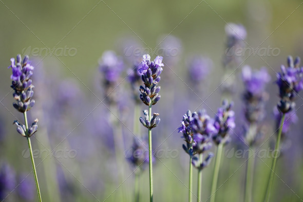 Sprigs of lavender - Stock Photo - Images