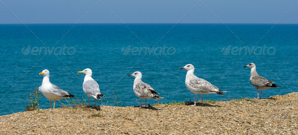 Seagulls  - Stock Photo - Images