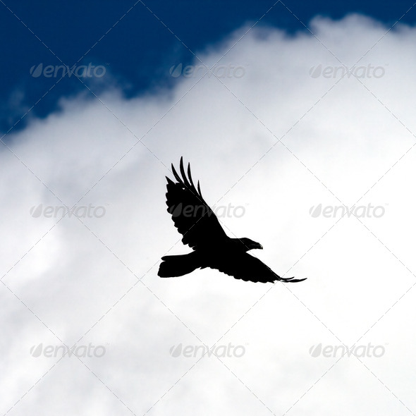 Fly raven. - Stock Photo - Images