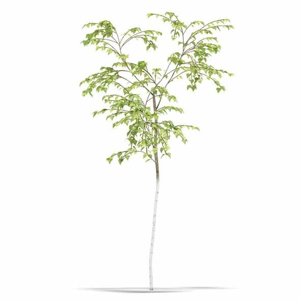 Birch - 3DOcean Item for Sale
