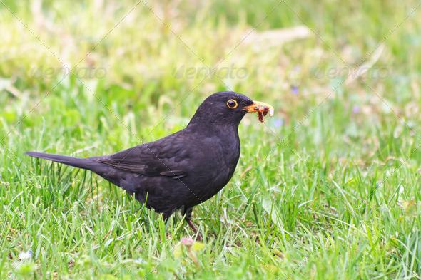 blackbird (turdus merula) - Stock Photo - Images
