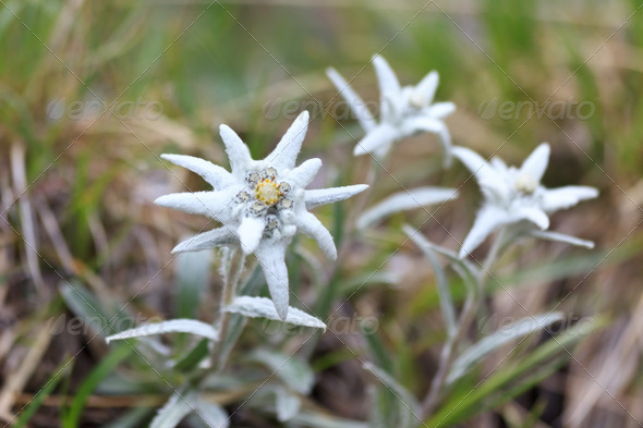 edelweiss - Stock Photo - Images