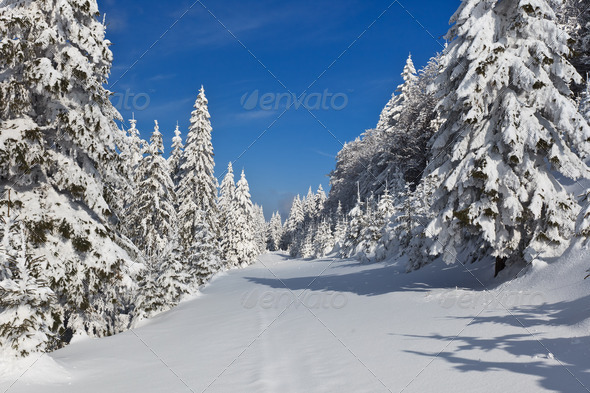 forest with pines in winter - Stock Photo - Images