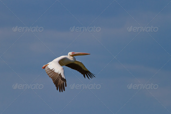 white pelican (pelecanus onocrotalus)  - Stock Photo - Images