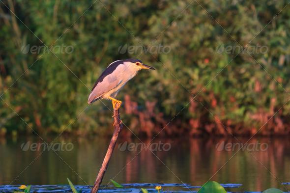 black crowned night heron - Stock Photo - Images