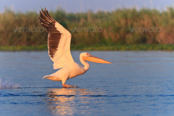 white pelican (pelecanus onocrotalus)  - Stock Photo - Images