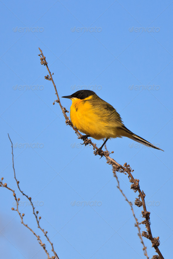 yellow wagtail warble  - Stock Photo - Images