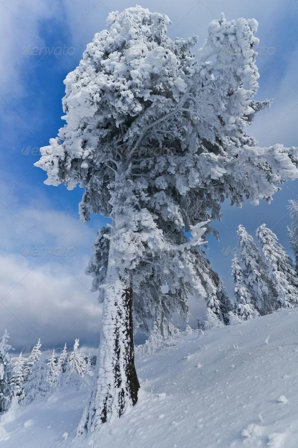 snow tree - Stock Photo - Images