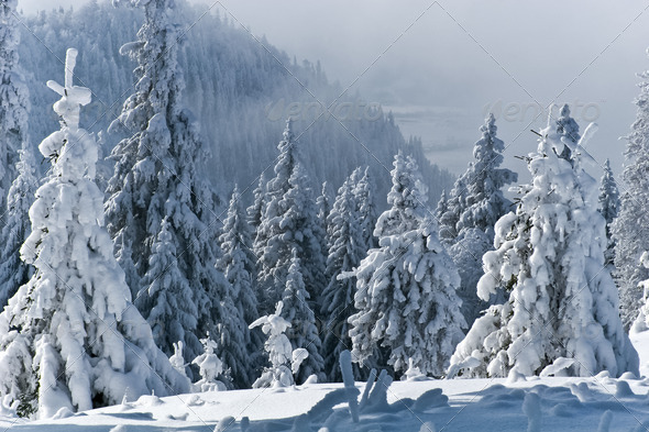 trees with snow - Stock Photo - Images