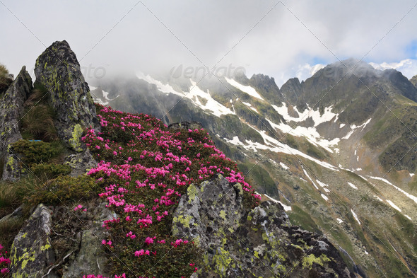 mountain peonies - Stock Photo - Images