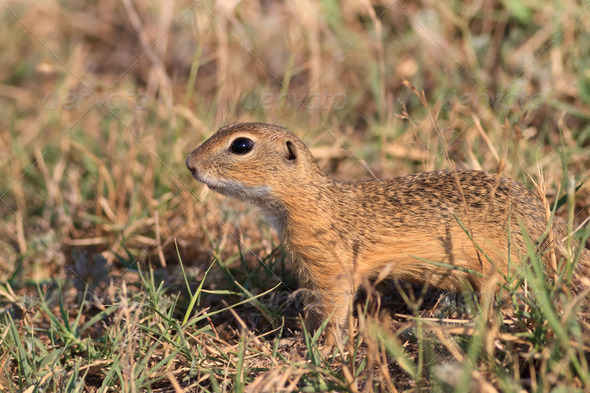 prairie dog in the grass - Stock Photo - Images