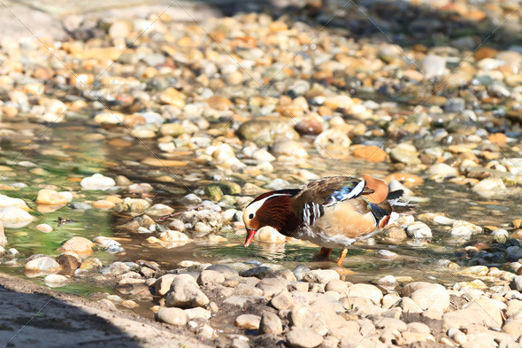 Mandarin Duck Drake (Aix Galericulata) - Stock Photo - Images