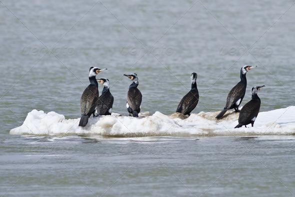 cormorants (phalacrocorax carbo ) - Stock Photo - Images
