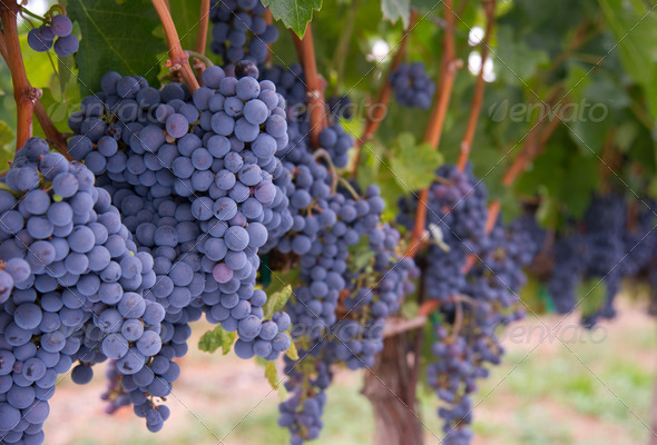 Grapes on the Vine - Stock Photo - Images