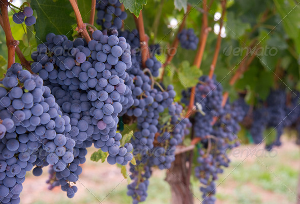 Row of Grapes - Stock Photo - Images