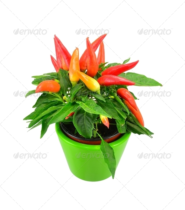 Potted Chilli Plant - Stock Photo - Images